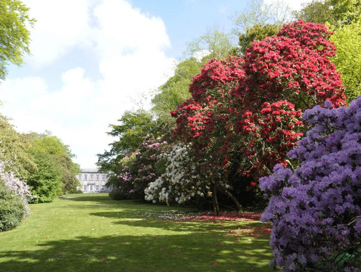 Large flowering trees in bloom in a Cornish garden.