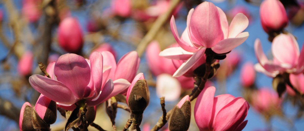 Magnolia flowers in bloom.