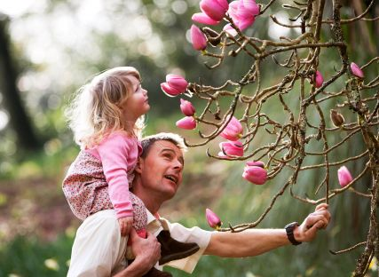 A girl on her dad's shoulders looks at a champion magnolia in bloom.
