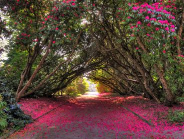 Magnolias form an arch over a garden path that's blanketed in hot-pink petals.